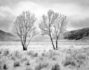Two Trees, Hoarfrost, 2001