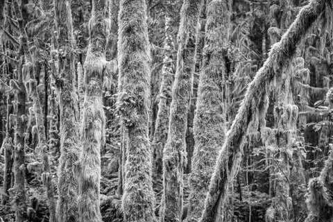Forest and Moss, Haida Gwaii, 2012