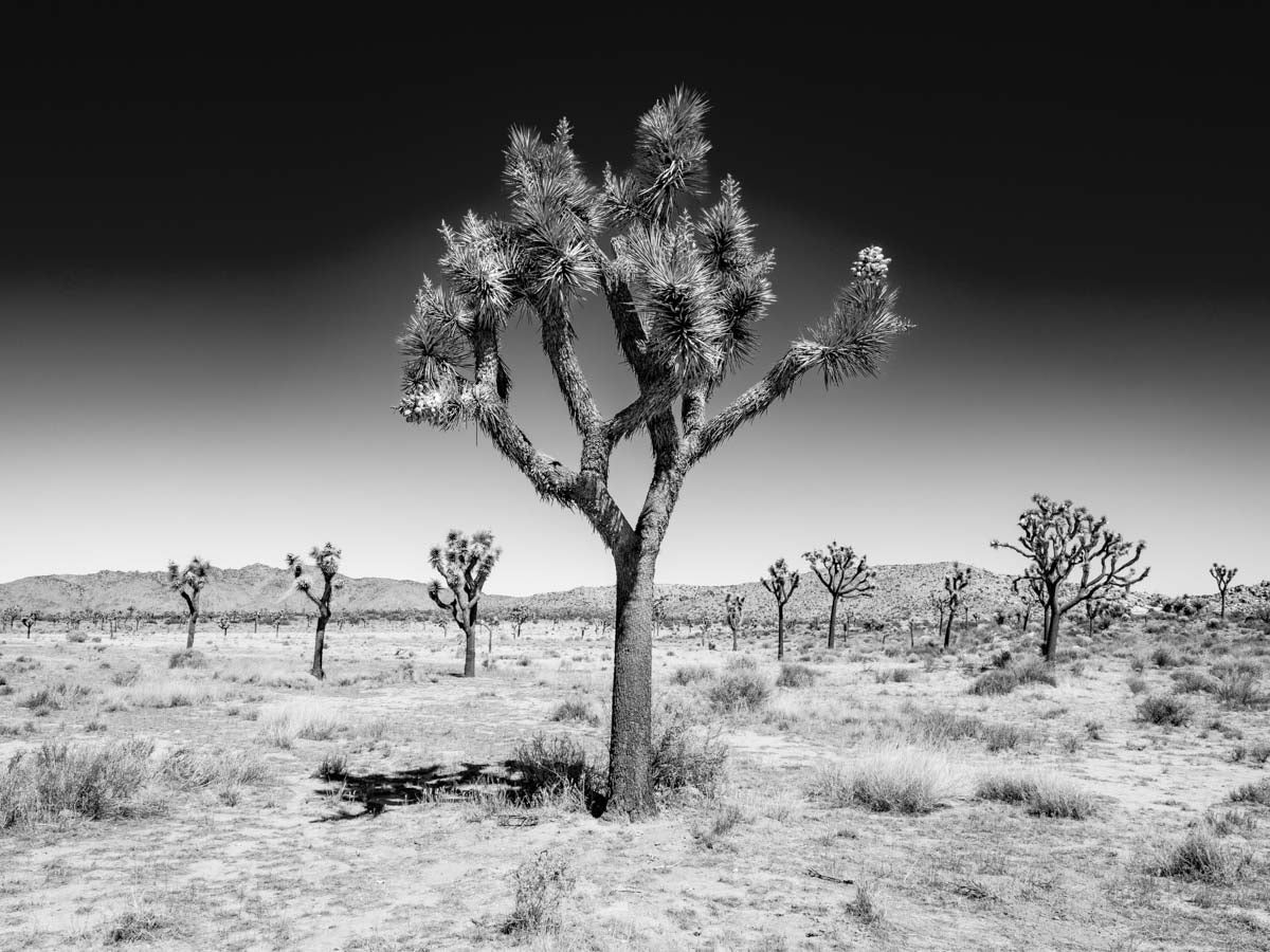 Joshua Tree Forest #1, Joshua Tree National Park