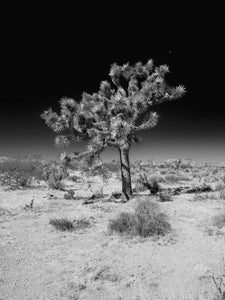 Stand Tall #2, Joshua Tree National Park