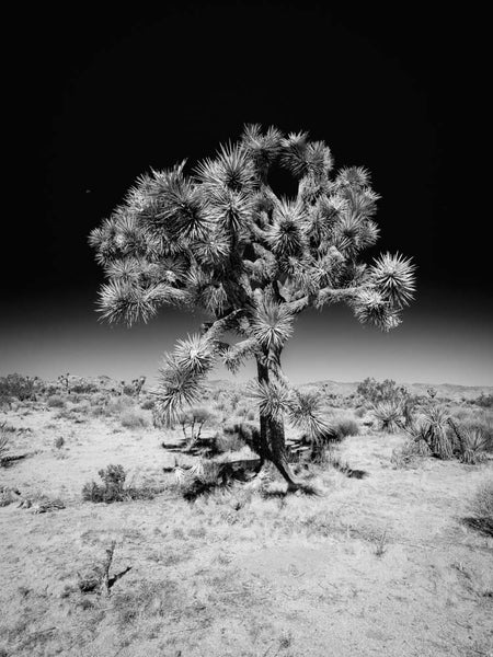 Stand Tall #3, Joshua Tree National Park