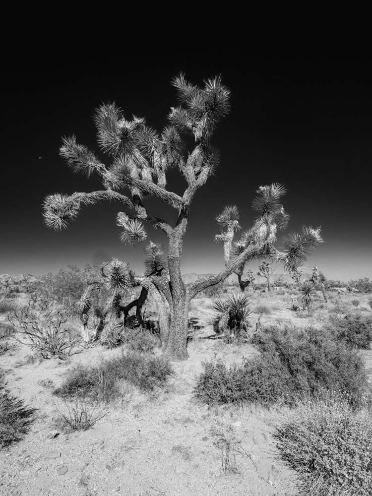 Stand Tall #4, Joshua Tree National Park