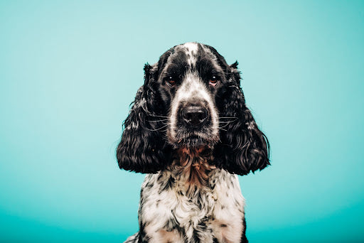 Portrait of a springer spaniel against an blue green background showing as a passive income idea for photographers who photograph pets on the side