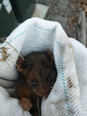 Rescued possum from the back of the AusWildlifeArt house, credit Béatrice Binz