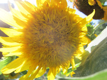 Load image into Gallery viewer, Sunflower Essence