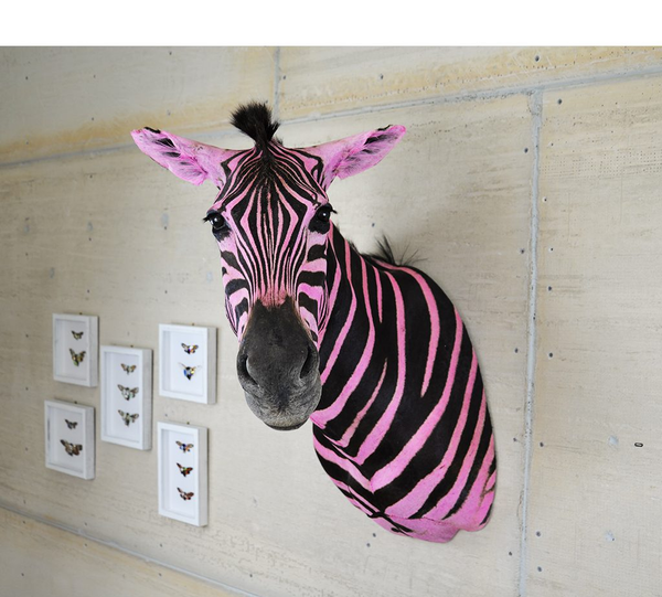 Meet Mary Jane Claverol's Zebra and discover why its pink!