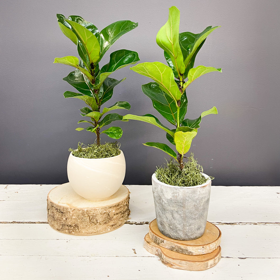 Table Top Fiddle Leaf Fig