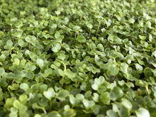Load image into Gallery viewer, Arugula Microgreens