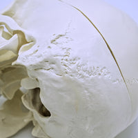 Anatomical Human Skull Replica w/ Movable Jaw - The Cranio Collections