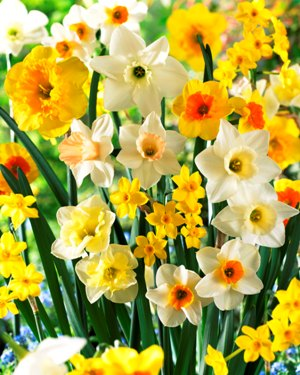 Specialty Mix Daffodils & Narcissus