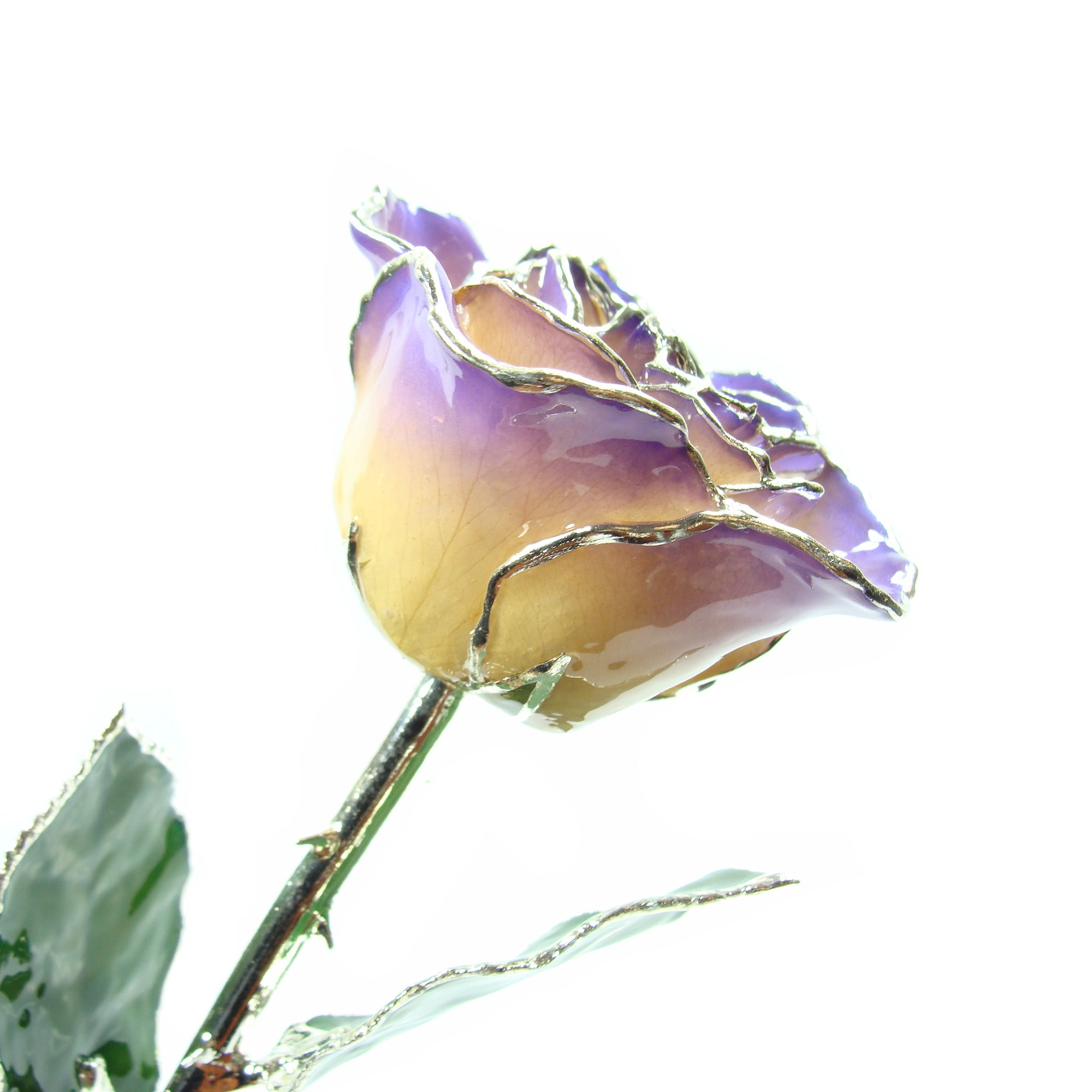 Silver Trimmed Forever Rose with White to Purple Petals. View of Stem, Leaves, and Rose Petals and Showing Detail of Silver Trim