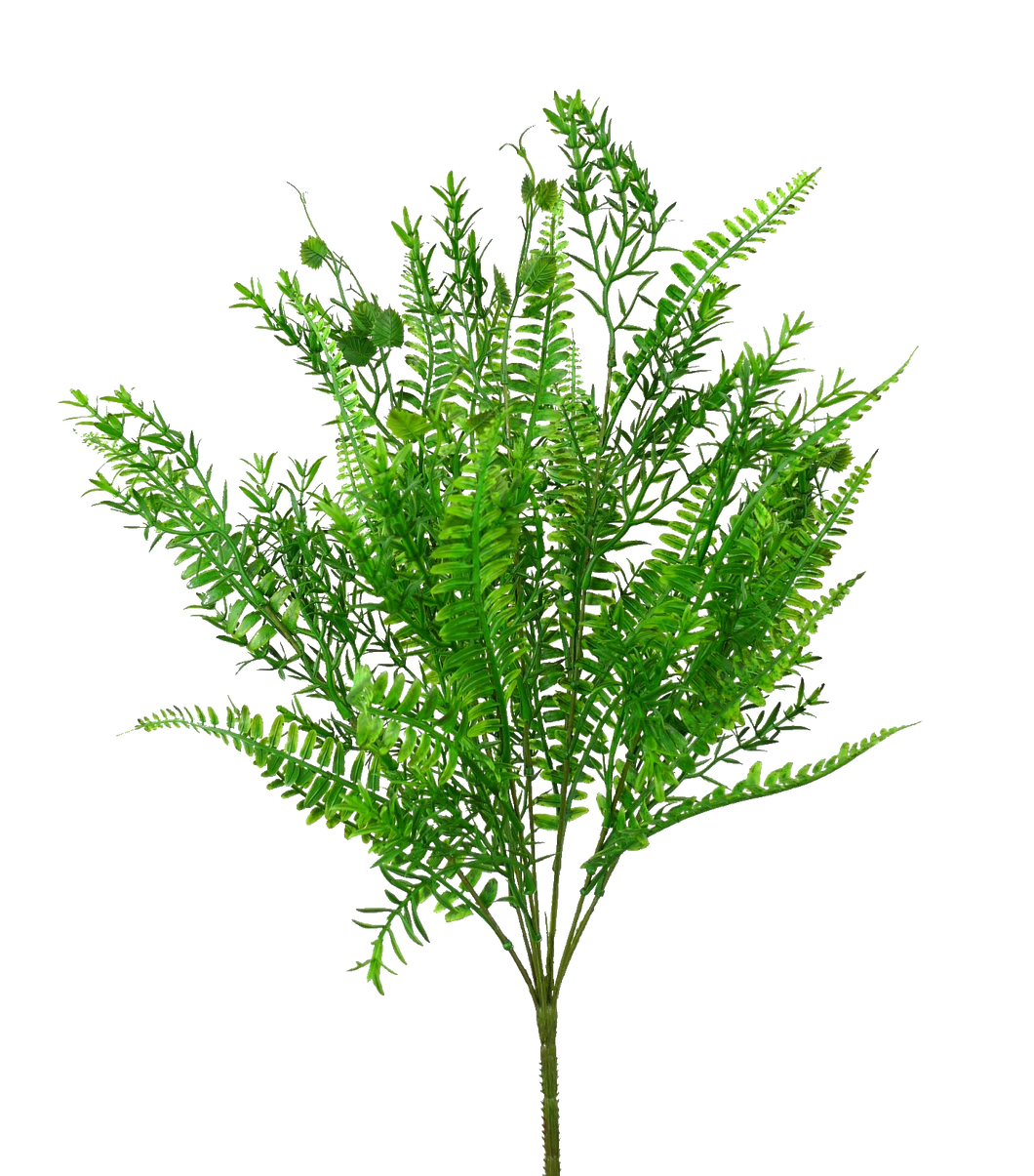 Groundsel Bush x 7 17