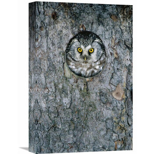 'Tengmalm's Owl or Boreal Owl Peaking Through Hole in Tree, Sweden' Photographic Print PK358