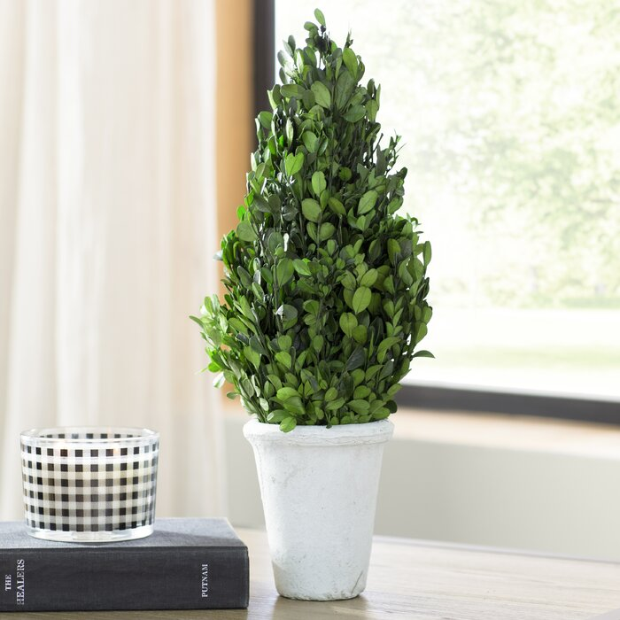 Boxwood Topiary in Pot - 11
