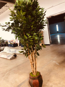 "74"" Ficus tree in Decorative planter 2251"