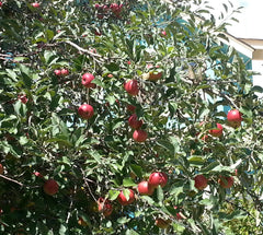 Fresh apples in Boulder, CO