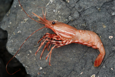 BC Live Spot Prawns from Tide to Table