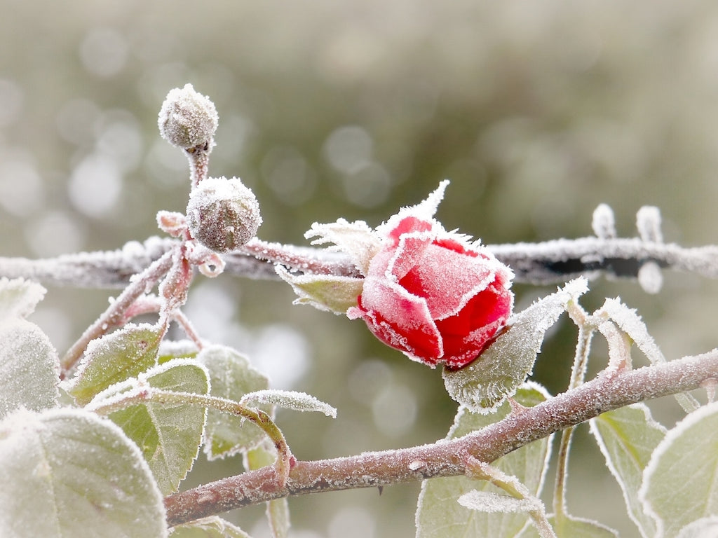 The Rose Tree Cold Weather Organic Skincare Cheat Sheet