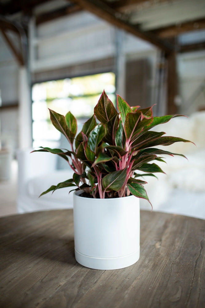 Chinese evergreen plant ready to get misted