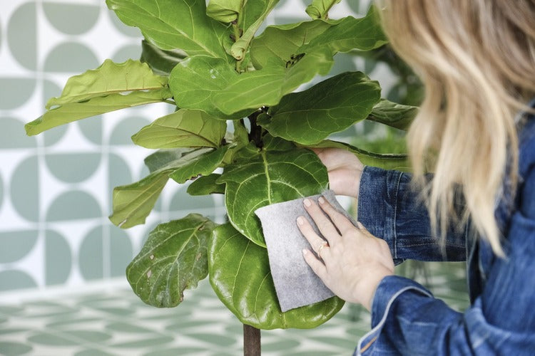 Person cleaning houseplant leaves with a dusting cloth.