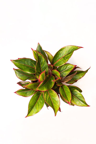 Red Chinese Evergreen Plant