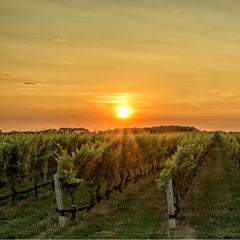 Wine vineyard at sunset