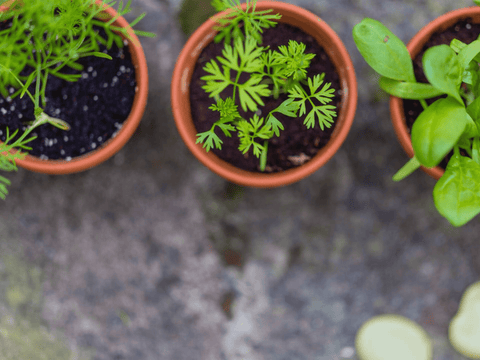 Growing an herb garden during covid quarantine