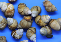 20 Pack of Trapdoor Snails (Free Shipping)