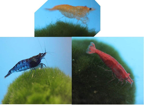 Family of 6 Mixed Color Live Freshwater Shrimp - Free Shipping