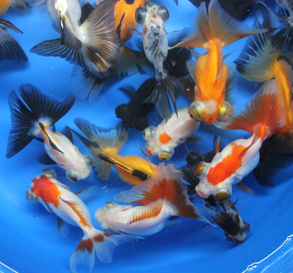 5 pack mixed butterfly tail goldfish - Free Shipping