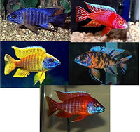 Family of 5 live African cichlids - Peacocks - Free Shipping