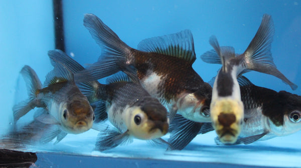 Panda oranda Fancy Goldfish sm.