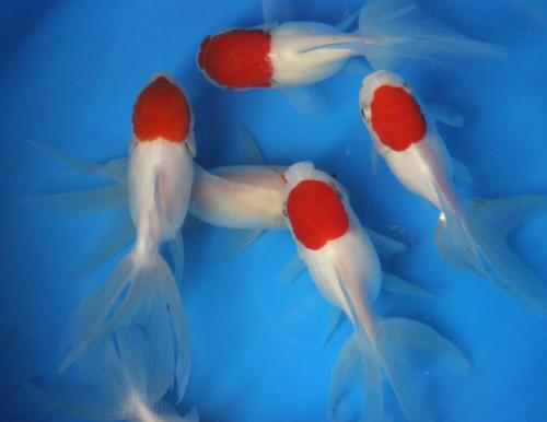 Red cap oranda Fancy Goldfish sm.