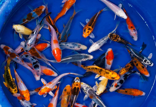 5 pack Select 3-inch Standard Koi
