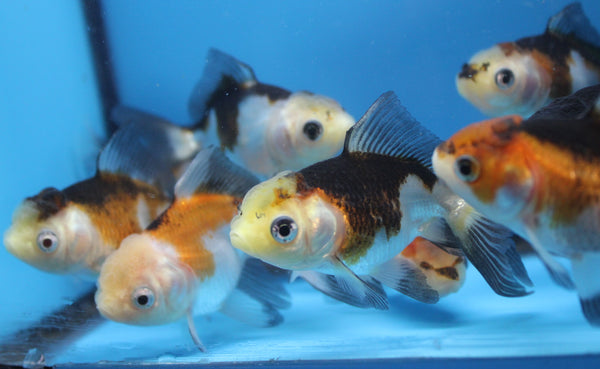Tricolor Panda oranda Fancy Goldfish sm.