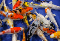 20 pack of Select 3-inch Mixed Koi