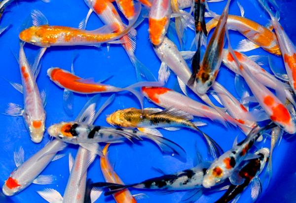 10 pack of Select 3-inch Mixed Koi