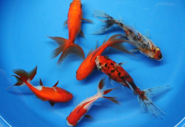 6 Pack 3-4 inch Fantail Goldfish (Free Shipping)