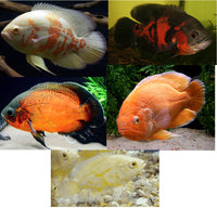 "Family of (5) Live Oscars 2"" Live Tropical Fish - Free Shipping"