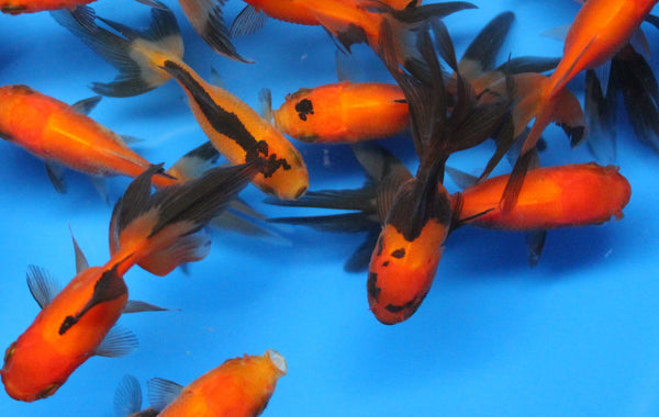 Red and black oranda Fancy Goldfish sm.