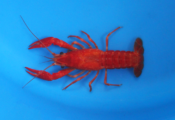 2-3 inch Red Crayfish