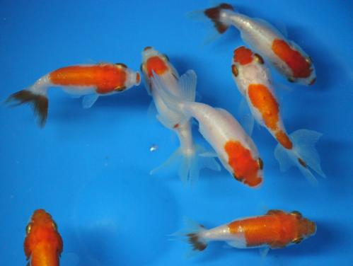 Red and white ranchu Fancy Goldfish sm.