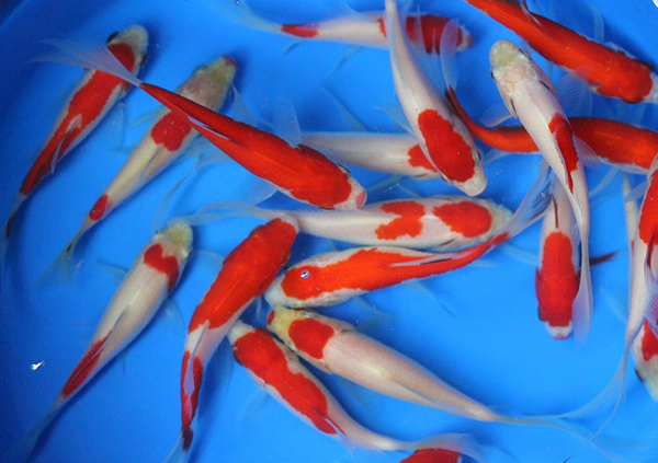 6 pack 3-4 inch Sarasa Comet Goldfish (Free Shipping)