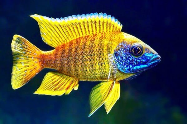 Yellow Sunshine peacock cichlid