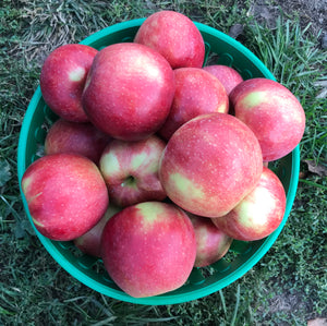 "Apple- Jonagold - ""Large and juicy apple"" ON SALE - stored in our CA storage"