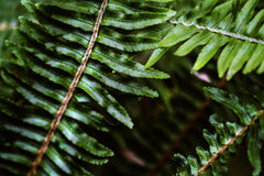 Dark green fern leaves