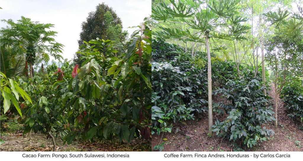 Cacao coffee farms difference