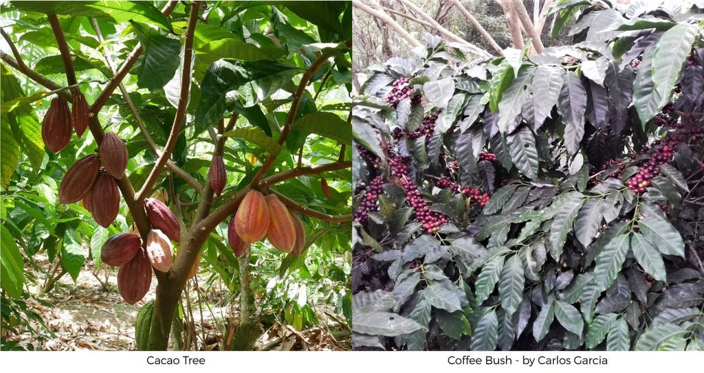 How do coffee chocolate grow? Cacao tree coffee bush