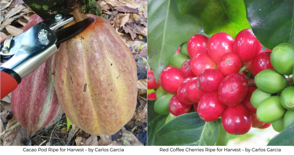 What's the difference between Cacao and Coffee Fruit? Cacao pod coffee cherries
