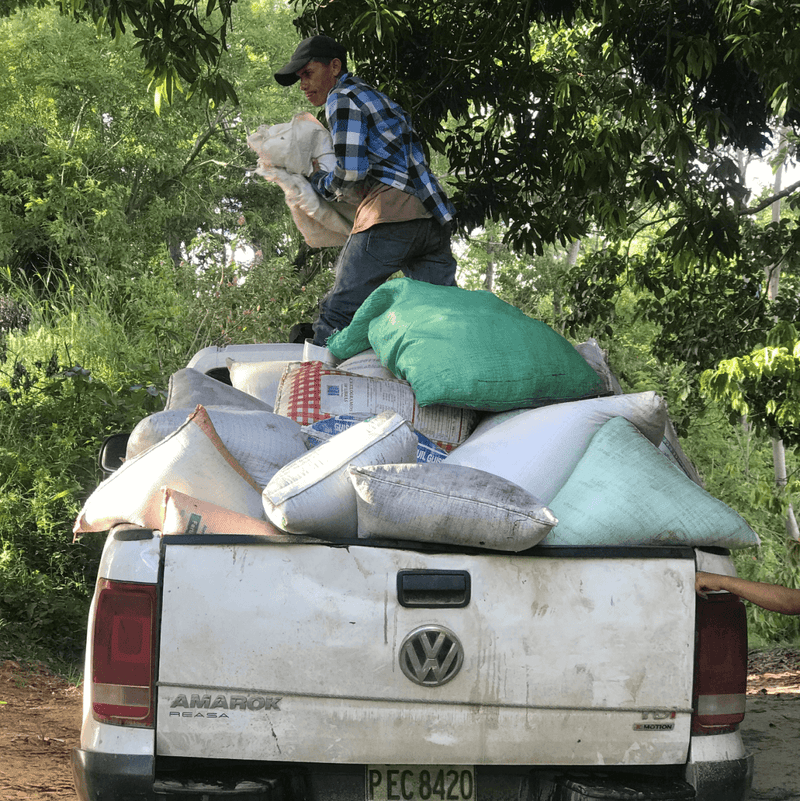 Wet Cacao Beans Transport from Farms on Dirt Road
